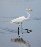 Grande caminhada do Egret Imagem de Stock