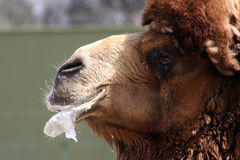 Grande cammello Fotografie Stock Libere da Diritti