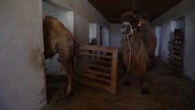 Grande cammello che va dentro una gabbia stock footage