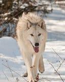 Grande camminare del lupo Fotografia Stock