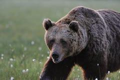 Grande camminare maschio dell'orso Fotografie Stock