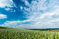 Grande campo con la coltura dei papaveri verdi Fotografia Stock Libera da Diritti