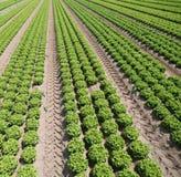 Grande campo con lattuga verde su suolo fertile fatto di sabbia di mare Immagini Stock Libere da Diritti