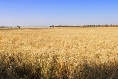 Grande campo da cevada na Espanha fotos de stock royalty free