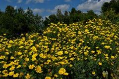 Grande campo de margaridas amarelas perto acima foto de stock