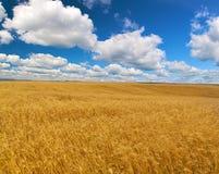 Grande campo de trigo sob o céu azul e as nuvens Imagens de Stock