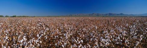 Grande campo del cotone. Fotografie Stock