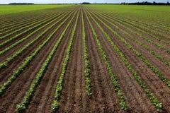 Grande campo del fagiolo rosso Fotografia Stock Libera da Diritti