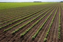 Grande campo del fagiolo rosso Immagini Stock
