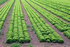 Grande campo di lattuga verde nelle pianure di estate Fotografia Stock