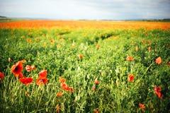 Grande campo molto bello del papavero un giorno soleggiato Priorit? bassa vaga immagini stock