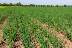 Grande campo in pieno delle piante di cipolla Fotografia Stock Libera da Diritti