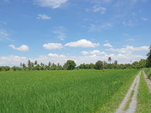 Grande campo verde do arroz com o espantalho no t-shirt alaranjado fotografia de stock royalty free
