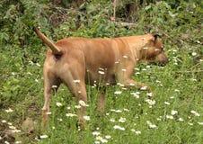 Grande cane Immagine Stock