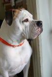 Grande cane bianco Fotografie Stock
