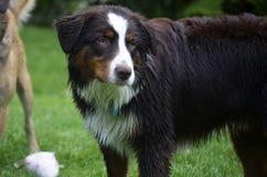Grande cane con pelliccia bagnata Immagini Stock Libere da Diritti