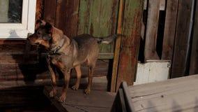 Grande cane da guardia su una catena Cane della testarossa su una catena nel villaggio stock footage