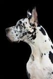 Grande cane del danese fotografia stock