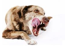 Grande cane del mutt che lecca i sui orli Immagine Stock