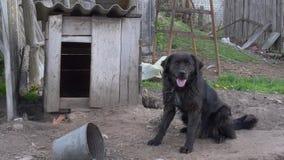 Grande cane di iarda nero su una catena video d archivio
