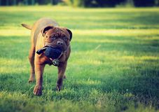 Grande cane - Dogue de Bordeaux Fotografia Stock