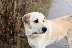 Grande cane giallo Fotografie Stock Libere da Diritti