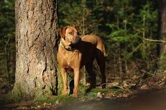 Grande cane nel legno Fotografia Stock Libera da Diritti