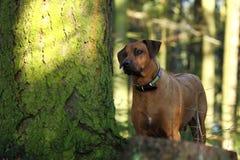 Grande cane nel legno Immagine Stock Libera da Diritti