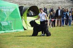 Grande cane nero dell'esposizione canina Immagine Stock Libera da Diritti