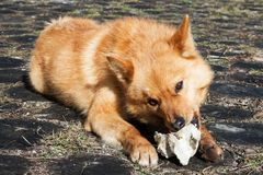 Grande cane rosso careliano con l'osso che si trova sulla terra nella foresta Fotografie Stock