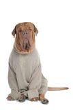 Grande cane serio in maglione Immagine Stock Libera da Diritti