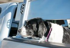 Grande cane visto nella parte posteriore di un camion, aspettante il suo proprietario Fotografia Stock Libera da Diritti