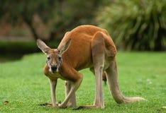 Grande canguro maschio Fotografia Stock Libera da Diritti