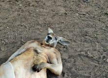 Grande canguro rosso selvaggio così divertente che dorme sulla terra Fotografia Stock