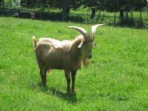 Grande capra del corno Immagine Stock Libera da Diritti