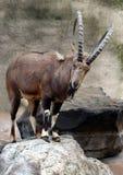 Grande capra del corno Fotografie Stock Libere da Diritti