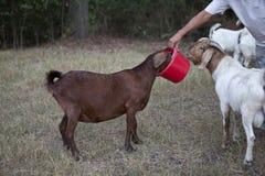Grande capra marrone che mangia dal secchio rosso dell'alimentazione immagini stock libere da diritti