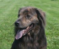 Grande cara marrom do cão Foto de Stock