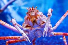 Grande caranguejo do mar fotografia de stock royalty free