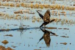 Grande carbo do Phalacrocorax do cormorão que decola em um campo do arroz no parque natural de Albufera, Valência, Espanha Perfei imagens de stock