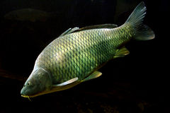 Grande carpe (Cyprinus Carpio) Photographie stock