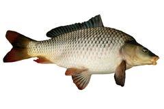 Grande carpe de poissons photographie stock libre de droits