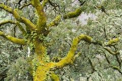 Grande carvalho de cortiça nas montanhas da Espanha de O Courel Foto de Stock Royalty Free