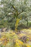 Grande carvalho de cortiça nas montanhas da Espanha de O Courel Imagem de Stock