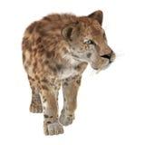Grande Cat Sabertooth Images libres de droits