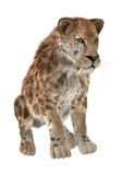 Grande Cat Sabertooth Images stock
