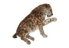 Grande Cat Sabertooth Image stock