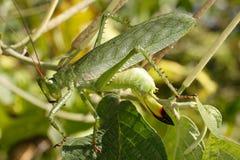 Grande cavalletta verde Fotografia Stock Libera da Diritti