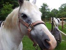 Grande cavallo del naso Fotografia Stock Libera da Diritti