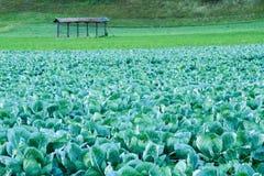 Grande cavolo variopinto archivato su un'azienda agricola della campagna fotografia stock